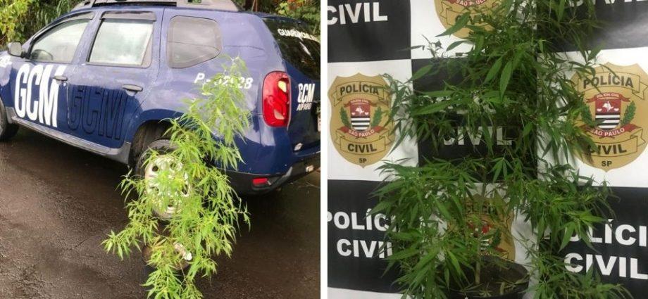 Polícia Civil apreende pé de maconha em casa de adolescente